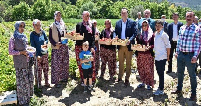 Akhisar Belediyesi Destekledi, Kadın Çiftçiler Çilek Üretti