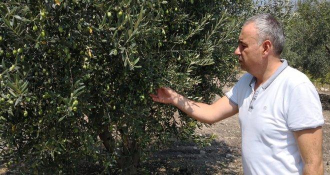 CHP'li Bakırlıoğlu Zeytin Leprası Hastalığına Dikkat Çekti