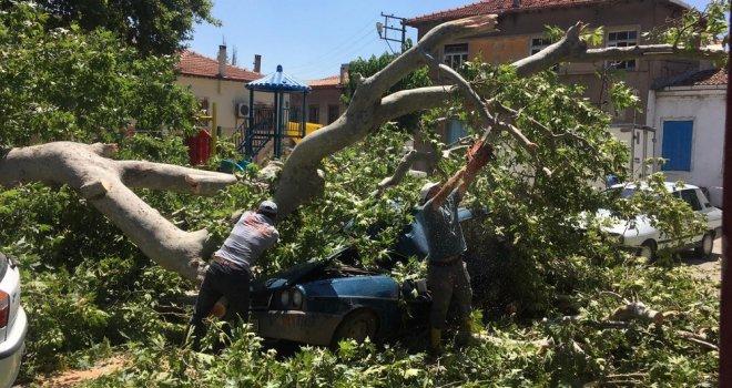 Çınar Ağacı Yıllara Yenik Düştü