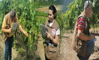 Akhisar'da Üzüm Rekolte Tahmin Çalışmaları Yapılıyor