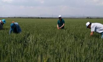 İlçe tarımda yoğun mesai