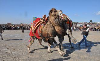 Zeytinliova 2. geleneksel deve güreşlerinde yer değişti